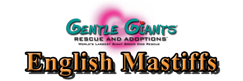 English Mastiffs at Gentle Giants Rescue and Adoptions